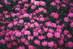 Rododendronowy kwiatu wzór Obrazy Stock