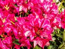 Rododendronowy okwitnięcia Ericaceae w wiośnie Zdjęcie Royalty Free