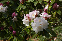 Rododendronowy okwitnięcie Obraz Stock