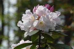 Rododendronowy okwitnięcie Obrazy Stock