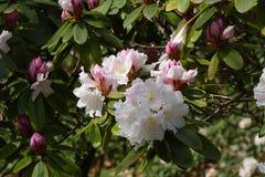Rododendronowy okwitnięcie Fotografia Royalty Free