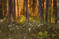 Rododendronowy tomentosum, Ledum palustre obraz royalty free