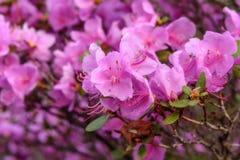 Rododendronowych kwiatów tła magenta deszcz Obrazy Stock