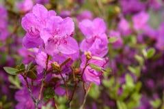 Rododendronowych kwiatów tła magenta deszcz Zdjęcie Stock
