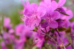 Rododendronowych kwiatów tła magenta deszcz Obraz Royalty Free