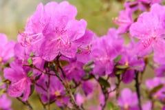 Rododendronowych kwiatów tła magenta deszcz Obraz Stock