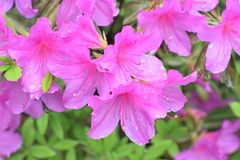 Rododendrons na de regen Royalty-vrije Stock Afbeelding