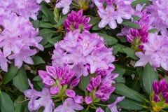 Rododendronsbloei in de lente royalty-vrije stock foto's