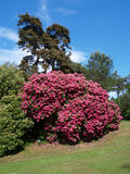 Rododendronsstruik Royalty-vrije Stock Afbeelding