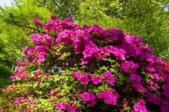 Rododendronstruik Royalty-vrije Stock Foto