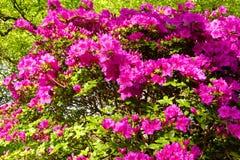 Rododendronstruik Royalty-vrije Stock Foto's