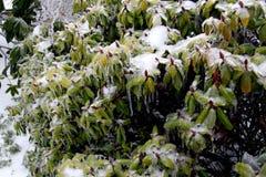 Rododendronstruik in ijs wordt ingepakt dat Stock Foto's