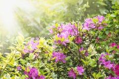 Rododendronstruik in zonnige tuin stock foto's