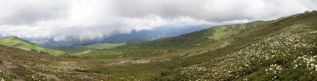 Rododendronstruiken in een bergvallei Stock Foto's