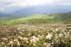 Rododendronstruiken in een bergvallei Stock Foto