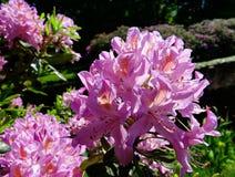 Rododendronu kwiat w wiośnie Obraz Royalty Free