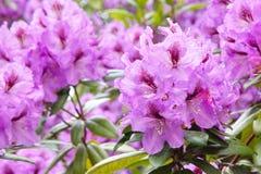 Rododendronu kwitnienie, rzędu domu park, Victoria, Bc, Kanada fotografia stock