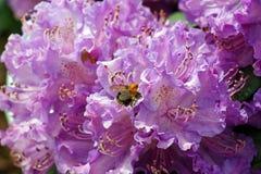 Rododendros Imagenes de archivo