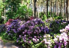 rododendros Foto de archivo