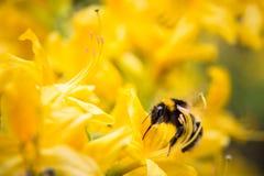 Rododendros amarillos con la abeja Foto de archivo