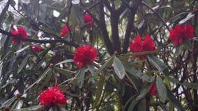 Rododendros de florecimiento en las montañas de Nepal metrajes