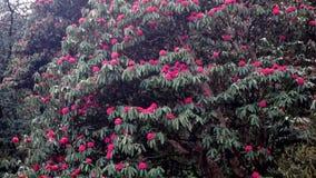 Rododendros de florecimiento en las montañas de Nepal almacen de metraje de vídeo
