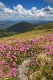 Rododendros de florescência Imagem de Stock Royalty Free