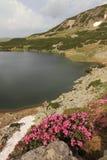 Rododendros de la montaña Fotografía de archivo libre de regalías