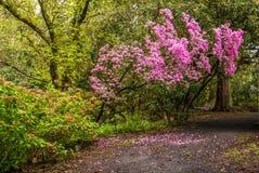 Rododendros en el ` s Crystal Springs Rhododendron Garden de Portland Foto de archivo libre de regalías