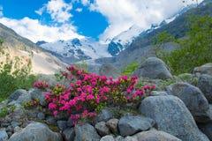 Rododendros en las altas montañas debajo de un glaciar alpino Imagen de archivo