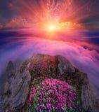 Rododendros, flores alpinas bonitas Foto de Stock Royalty Free