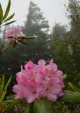 Rododendros rosados Fotografía de archivo