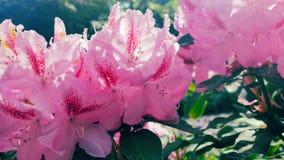 Rododendros rosados en el sol Imagen de archivo libre de regalías