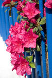 Rododendrun fence. Bright pink rhododendruns grow against a bright blue iron fence Royalty Free Stock Photo