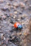 Rodolia rufopilosa a red ladybug Royalty Free Stock Image