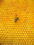 Rodopica de mellifera d'api Image libre de droits