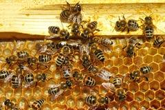 Rodopica di api Fotografia Stock Libera da Diritti