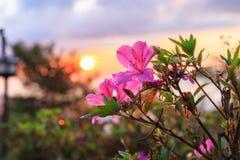 Rodorendron roze bloem met zonsopgangachtergrond Royalty-vrije Stock Afbeeldingen