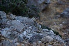 Rodos, Mountain, Lizard. On Stone Stock Photography