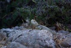 Rodos, Mountain, Lizard. On Stone Royalty Free Stock Image