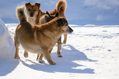 Rodowodu psa spacer Obrazy Royalty Free