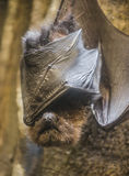 Rodrigues flying fox or Rodrigues fruit bat - Pteropus rodricens Stock Images