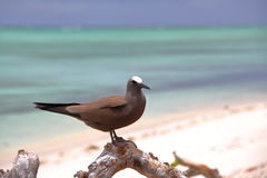 RODRIGUES-INSEL, MAURITIUS: Noddy-Seeschwalbe Anous Stolidus in Cocos-Insel stockbilder