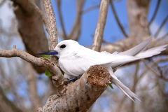 RODRIGUES ISLAND, MAURITIUS: Portrait of a White tern Gygis Alba at Cocos Island. Portrait of a White tern Gygis Alba at Cocos Island Royalty Free Stock Photo