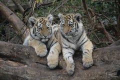 Rodzeństwa Syberyjski tygrys obrazy royalty free