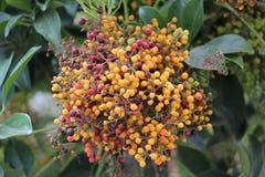 Rodzime Australijskie jagody Zdjęcie Stock