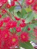 Rodzime rośliny Australia Zdjęcia Stock