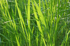 rodzime trawy Obraz Royalty Free