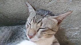 Rodzimego kota dosypianie Zdjęcie Royalty Free