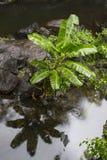 Rodzimy Bananowy drzewo w tropikalny las deszczowy zatoczce Fotografia Stock